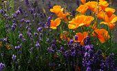 Lavanda y amapola flores