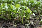 baby coriander sprouts in a garden