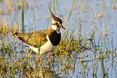 Portrait Of A Lapwing