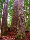 Kauri Tree - Waipoua Forest