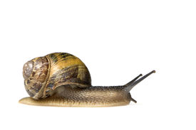 stock photo of garden snail  - Garden snail in front of a white background - JPG