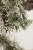 Ice In The Pine Needles
