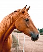 Portrait Of A Chestnut Horse
