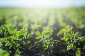 Concept Of Earth Day. Glycine Max, Soybean, Soya Bean Sprout Growing Soybeans On An Industrial Scale poster
