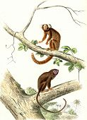 The Marmoset, The Tamarin, vintage engraved illustration. From Buffon Complete Work. poster