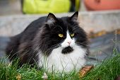 Adorable Cute Cat Sitting In The Garden On The Green Grass. Adorable Chunky And Chubby Feline poster