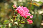 Pink Roses And Buds With Blurred Background. Flower Of Wild Rose, Macro. Crimson Roses Buds. Beautif poster