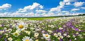 Spring Landscape Panorama With Flowering Flowers On Meadow. White Chamomile And Purple Bluebells Blo poster