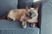 Beautiful Colorpoint Blue-eyed Cat Lying On Couch Sofa Looking In Camera. Fluffy Hairy Domestic Pet  poster