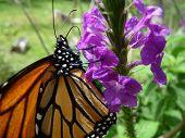 Monarch Butterfly on Flower Macro