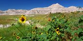 Badlands National Park Wildflowers