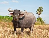 image of female buffalo  - Buffalo in sunny day in Rayong province of Thailand - JPG