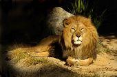 Lion King Sage