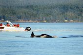 Pod Of Orca Killer Whale Swimming, With Whale Watching Boat In The Background, Victoria, Canada poster