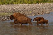 Las madres de bisonte y terneros cruce río