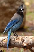 Steller's Jay Perched On Log