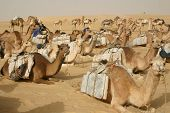 Resting Camel Caravan, Mali, Africa