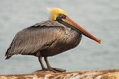 Brown Pelican Hunched Up