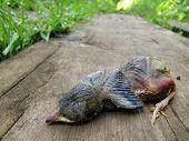 Dead Baby Robin Lying on a Wooden Board