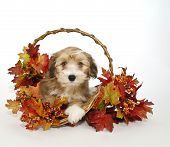 Cute Fall Puppy