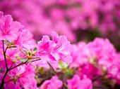 Pink Rhododendron Blossoms With A Beautiful Blur. Rhododendron Hybridum. poster