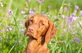Closeup Portrait Of A Vizsla Dog With Wildflowers