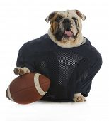 sports hound - english bulldog dressed up like a football player
