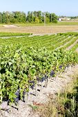 vineyard with blue grapes in Bordeaux Region, Aquitaine, France