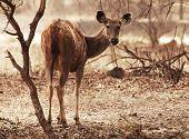 Cervo axis (eixo), no Parque Nacional de Ranthambore, Índia, Ásia
