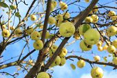 green apple on aple tree branch