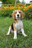 Beagle Sit