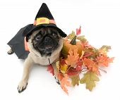 Pug Dressed As Witch