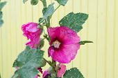Pink Hollyhock at Oleron island