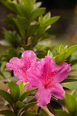 Flowers 011 Gladiolus
