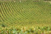 Vineyard in vosne romanee, burgundy, france during autumn or harvest season