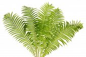 Fern Real Bush Isolated