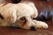 A sweet female Poddle Bichon Frise mix breed dog lays on a brown leather couch on lazy morning watch