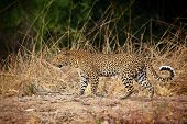 adult leopard in luangwa national park zambia