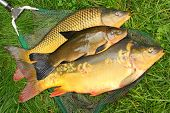 Fish on fishing net. The Common Carp ( Cyprinus Carpio ) and The Tench (Tinca Tinca). In Central Eur