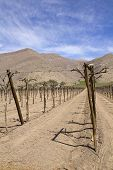Vineyard cultivation on Andes. Chile