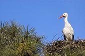 Stork, Symbol Of Spring.