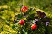 Ripe Cloudberry In Nature (rubus Chamaemorus)