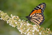 Monarch butterfly feeding on a white cluster of flowers