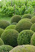 Boxwood - Green garden balls in France