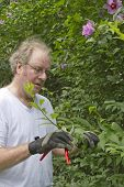 stock photo of rose sharon  - Middle aged man with pruning shears pruning bushes and Rose of Sharon plants - JPG