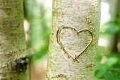 Corazón rayado en un árbol joven
