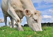 foto of charolais  - close up of a cow grazing in the meadow grass - JPG