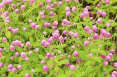 Globe Amaranth Or Gomphrena Globosa Flower