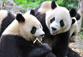 picture of panda  - Giant panda bear eating bamboo  - JPG