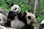 Giant panda bear eating bamboo with other pandas